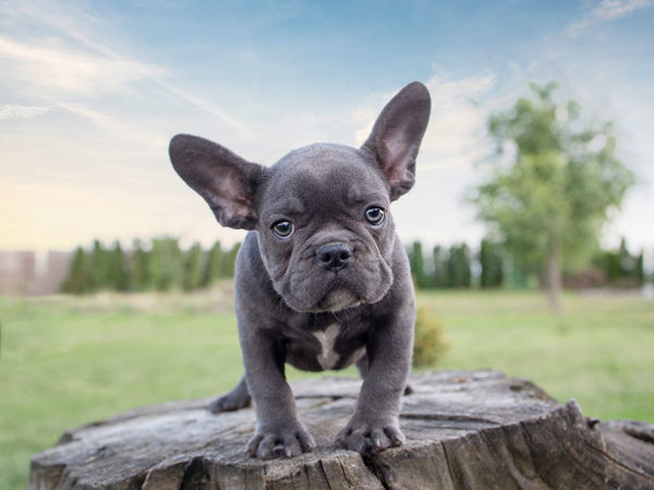breeder for your French bulldog puppy