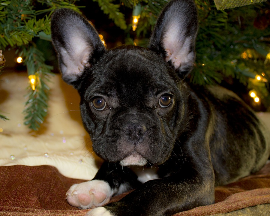 why is a french bulldog so expensive