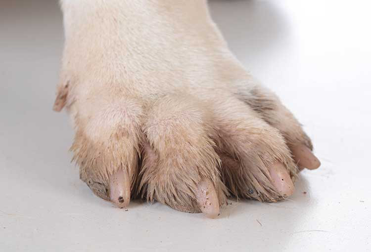 yeast infection in french bulldogs