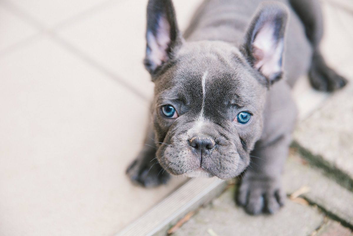 allergies in frenchies