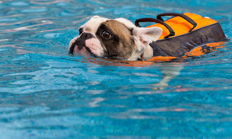 french bulldogs can't swim