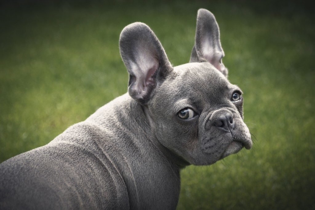 tear stains on french bulldogs