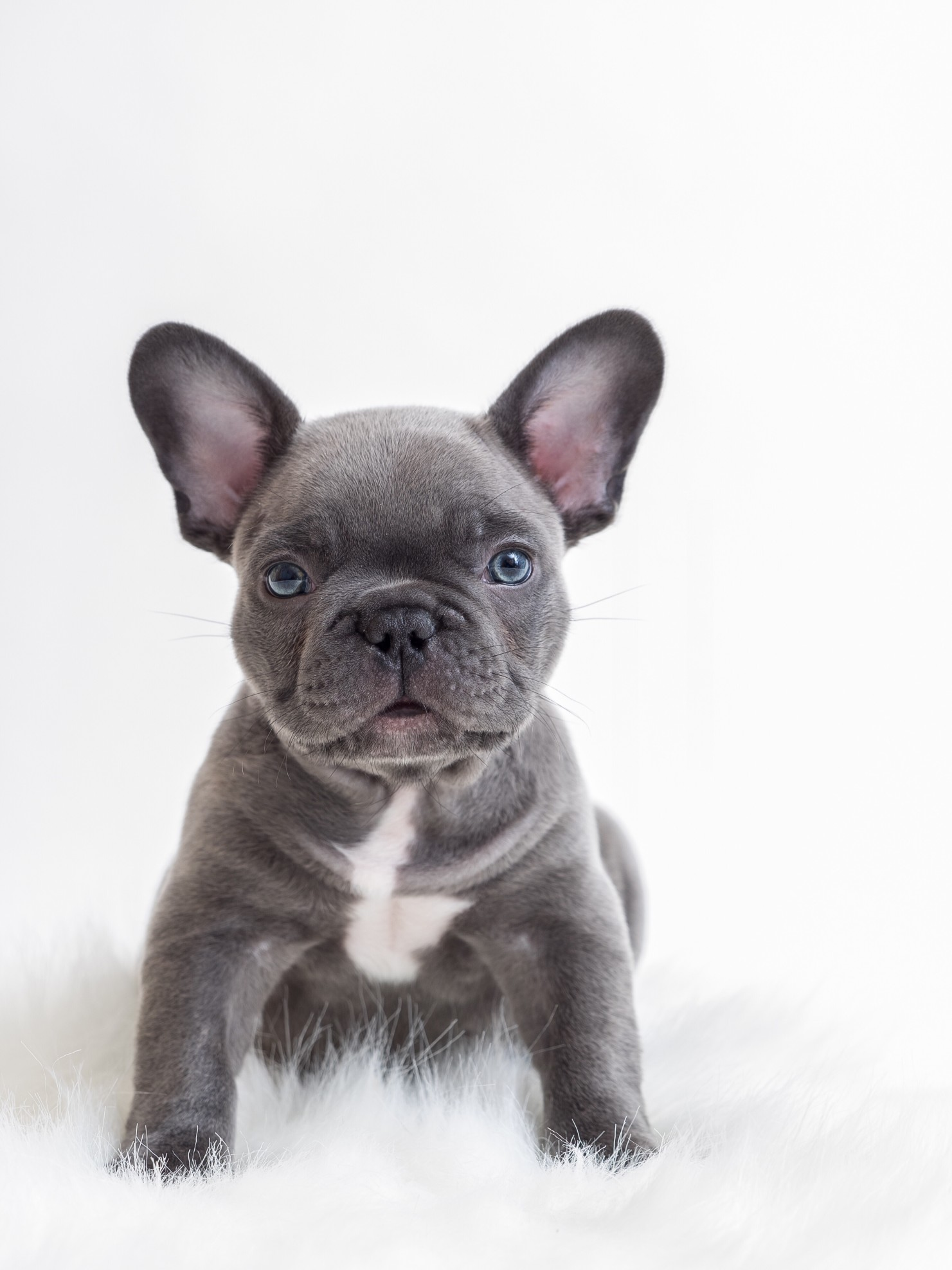 french bulldog ear scabs