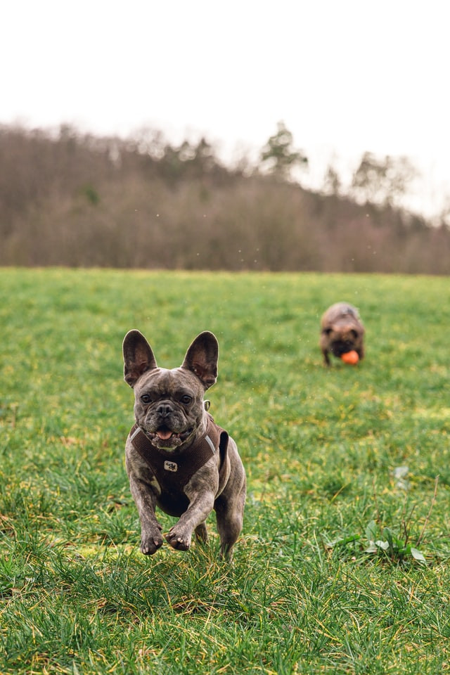 french bulldog behavior problems