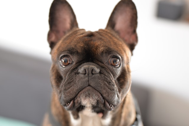french bulldog's ears down