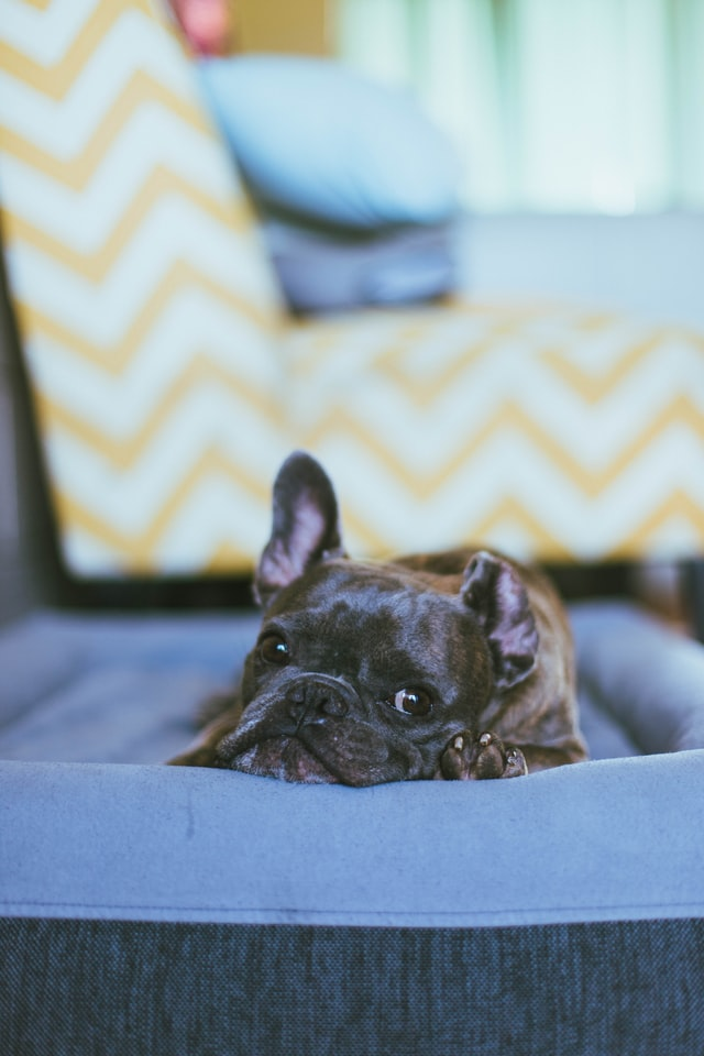 demodectic mites in french bulldogs