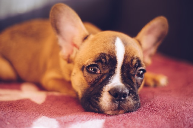 french bulldog ear mites