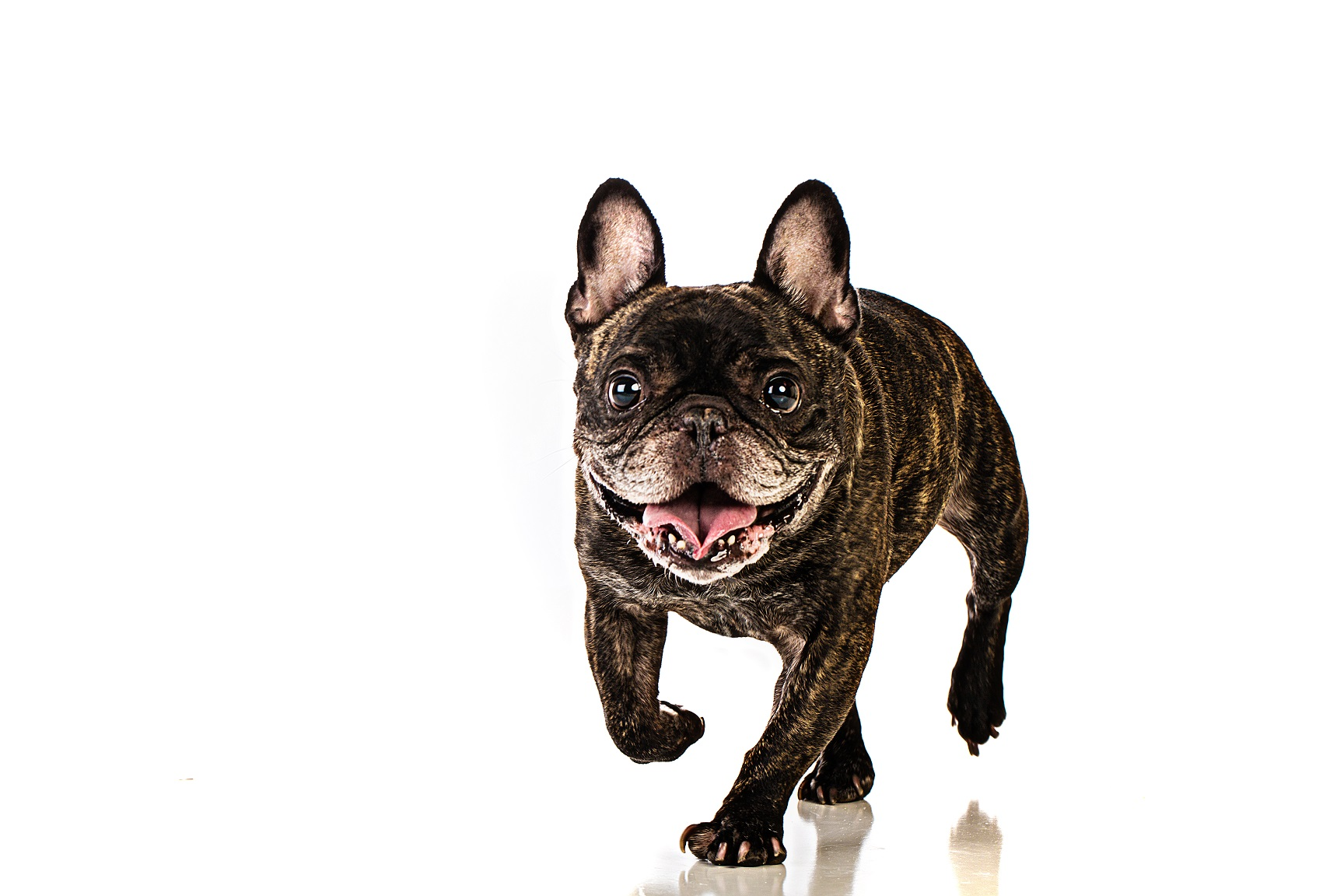 french bulldog barking