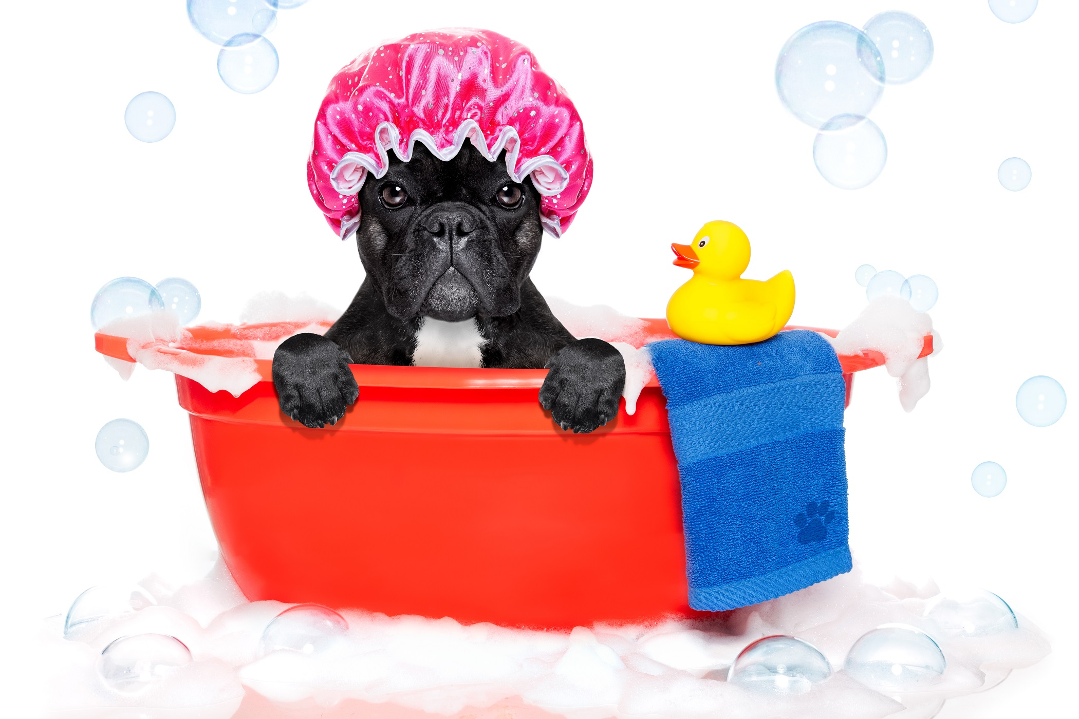bathe a frenchie