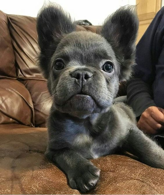 teacup french bulldogs