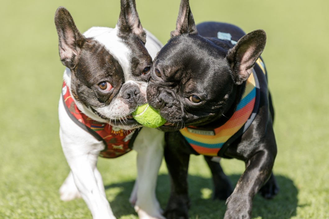 two-french-bulldogs-playing-with-a-ball-off-leash-dog-park-in-northern-california_t20_WxXaew
